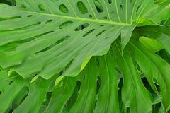 Green tropical leaves Royalty Free Stock Images
