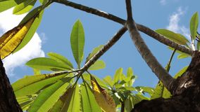 Green tropical leaves on a blue sky background. Sunny day on the tropical island of Bali, Indonesia. Asia stock video