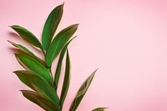 Green tropical leaves on a pink background, Top view royalty free stock images