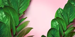 Green tropical leaves on a pink background, Top view stock photo