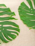 Green tropical leaves on a sacking Stock Photos
