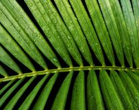 Green tropical leaves yellow palm with water drop. Isolated on black background with clipping path Royalty Free Stock Photo