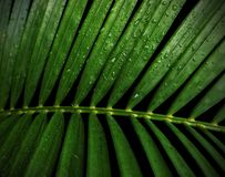 Green tropical leaves yellow palm with water drop. Isolated on black background with clipping path Stock Photo