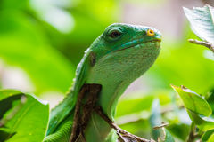 Green tropical lizard sitting on tree branches with leafs stock image