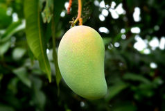 Green tropical mango in farm. Dark shadow in outdoor lighting Royalty Free Stock Images