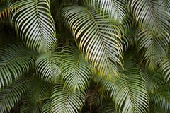 Green Tropical Palm Frond Jungle Royalty Free Stock Image