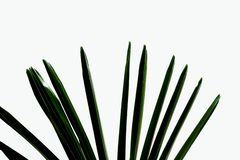 Green tropical palm leaves on white isolated background. For backdrop pattern and copy space royalty free stock photo