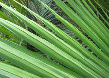 Green tropical palm tree leaves Royalty Free Stock Photography