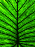 Green tropical plant leaf detail Stock Photography