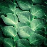 Green tropical plant leaves Royalty Free Stock Image