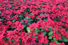 Green Tropical Poinsettia Hedge with Red Flowers. Huge festive hedge of Poinsettia Euphorbia pulcherrima plants with green leaves and red flowers growing stock photos