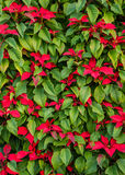 Green Tropical Poinsettia Hedge with Red Flowers. Huge festive hedge of Poinsettia (Euphorbia pulcherrima) plants with green leaves and red flowers growing in stock photo