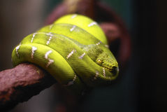Green Tropical snake coiled on a branch Stock Photo