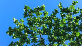Green tropical tree leaves against the blue sky. HD slowmotion. Thailand, Phuket. stock video footage