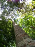 Green Tropican Rain Forest Tree. This tall tropican tree living in more than hundreds years to living this tall at Rain Forest stock photography