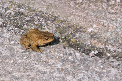 Green true toad sitting on the asphalt road Royalty Free Stock Photography