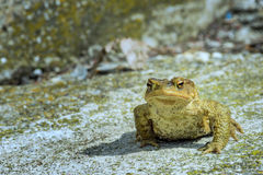 Green true toad sitting on the gray asphalt road Stock Images
