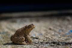 Green true toad watching on the asphalt road Stock Image