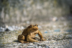Green true toad watching sitting on the asphalt road Royalty Free Stock Photography