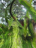 Green trunk. Big tree with the green trunk. Photo taken from ground to top of the tree Stock Photography