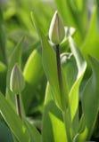Green tulip burgeons Royalty Free Stock Images