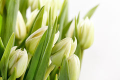 Green tulips Royalty Free Stock Photo