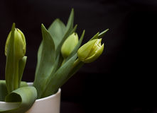 Green tulips Stock Photos