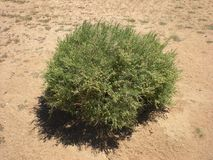 Green Tumble Weed Stock Photography