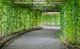 Green tunnel of Angled Luffa plant Stock Images