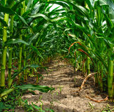Green tunnel in a cornfield Royalty Free Stock Image