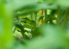 Green Tunnel. Garden leaves through green leave tunnel Stock Photography