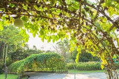 Green tunnel. Made from calabash plant Royalty Free Stock Photography