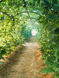 Green tunnel pergola Royalty Free Stock Photography