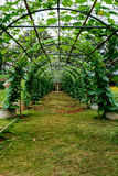 Green tunnel of plants. With green grass Royalty Free Stock Photography
