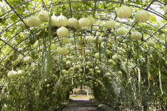 Green tunnel vegetable. Royalty Free Stock Photography
