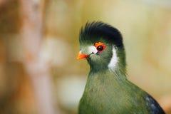 Green turaco bird. Closeup view Royalty Free Stock Image