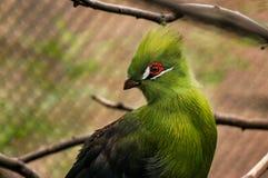Green Turaco. Bird in the San Antonio zoo; red around eye. Starring left Stock Photography
