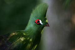 Green Turaco, side view Royalty Free Stock Photography