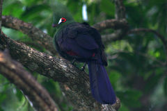 Green Turaco, in tree. Royalty Free Stock Photo