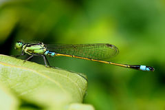 Green and turquoise damselfly Stock Image
