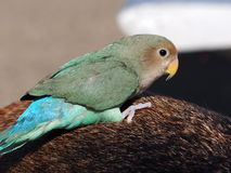 Green And Turquoise Lovebird Stock Image