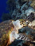 Green turtle. Eating coral in red sea Stock Image