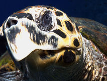 Green turtle. Head of a green turtle in the red sea Stock Photos