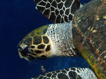 Green turtle. Head of a green turtle in the red sea Royalty Free Stock Image