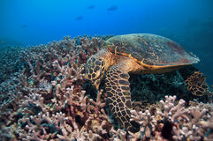 Green turtle stock image