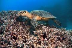 Green turtle Royalty Free Stock Photos