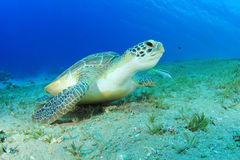 Green Turtle Stock Photos
