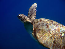 Green Turtle. Na'ama Bay, Sharm el Sheikh, Egypt Stock Photography