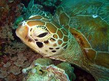 Green Turtle. At Maratua, Indonesia Stock Photo