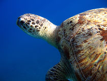 Green Turtle. At Na'ama Bay, Sharm el Sheikh, Egypt Stock Photos